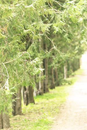 coniferous: genus of coniferous trees