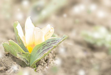 the first small spring tulip
