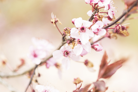 branch of a blossoming tree and sun