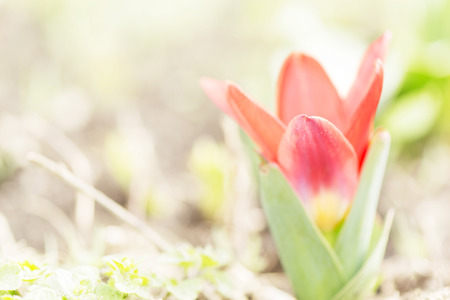 first red spring tulip