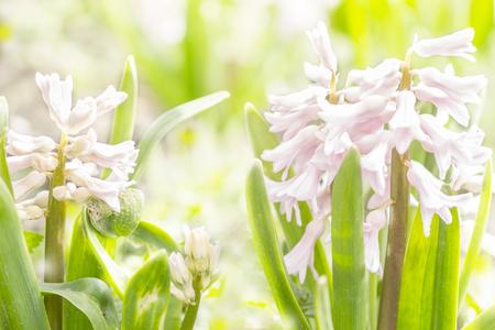 hyacinths: hyacinths sunny spring day
