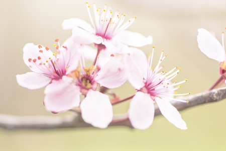 branch of blossoming cherry Stock Photo