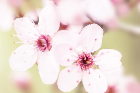 cherry flowers close-up