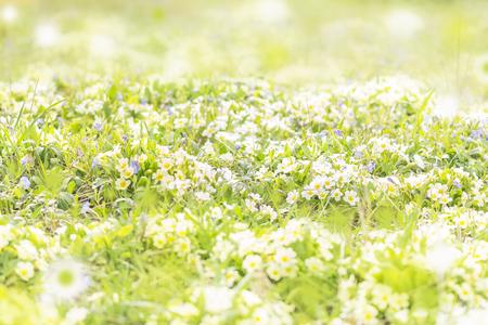 field of blooming primroses