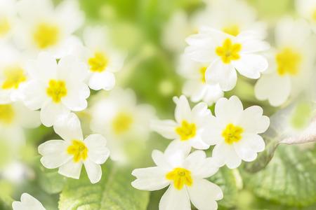 first spring white primrose