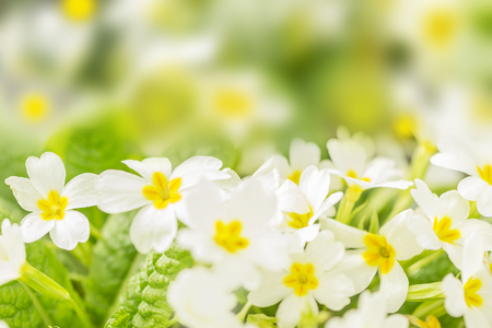 primrose bush Stock Photo