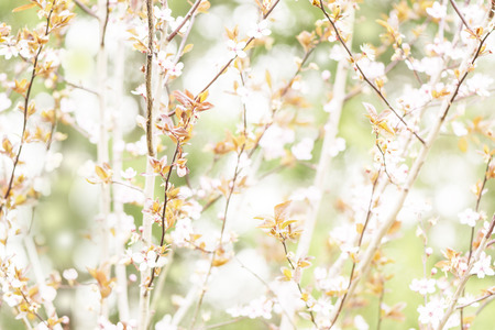 Spring branches of a blossoming tree Stock Photo