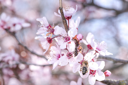 Flowering apricot branch Stock Photo