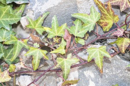 Ivy branch and Granite Stock Photo