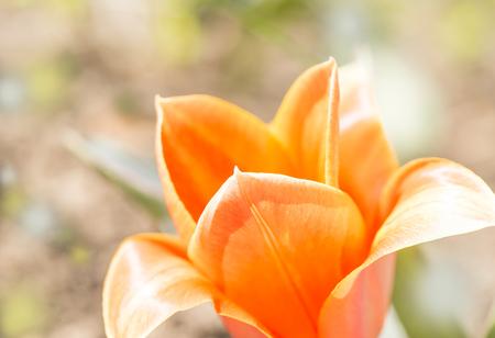 orange tulip petals macro Stock Photo