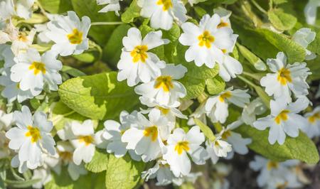 primrose flowers in bright sunlight Stock Photo