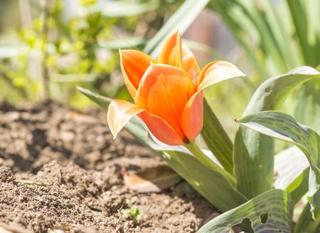 tulip petals opened to the sun Stock Photo