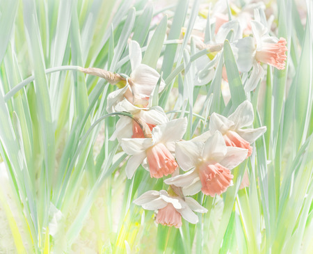 daffodils in pastel colors Stock Photo