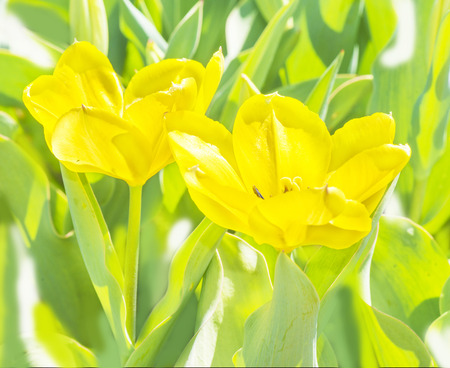 Yellow tulips with green leaves