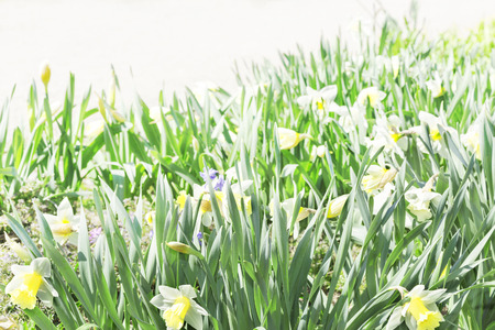 daffodils: bed of yellow daffodils Stock Photo