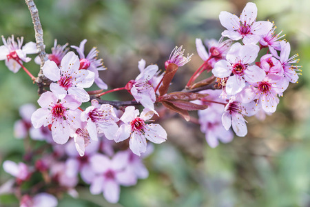 branch of cherry blossoms on a green background