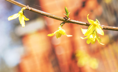 branch with buds and flowers on the background of houses Stock Photo