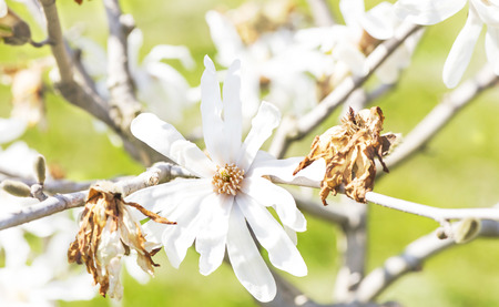 magnolia flower in a garden macro
