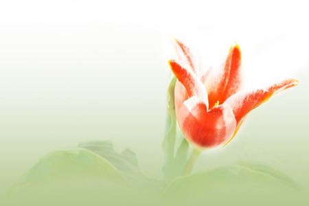 red tulip on green and white background