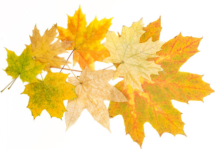 big and small maple leaves Banco de Imagens