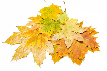 brown red and yellow maple leaves