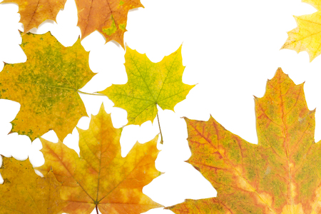 many maple leaves on white background Banco de Imagens