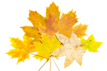 several yellow and brown maple leaves on a white background