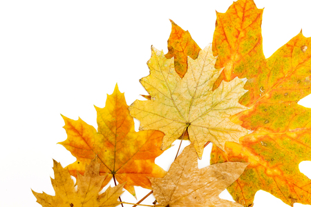 yellow, red and brown maple leaves on a white background Banco de Imagens