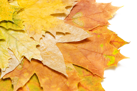 autumn maple leaves on a white background in the left corner close-up