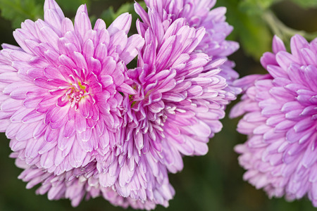 pink terry chrysanthemum in the garden macro