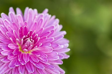 pink terry chrysanthemum macro
