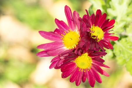 three red chrysanthemums under the sun in the autumn garden close-up