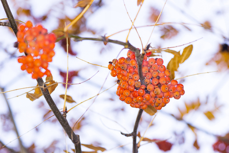 two clusters of rowan on a tree on a bright day Banco de Imagens