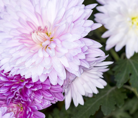 white and pink terry chrysanthemums in the autumn garden Banco de Imagens