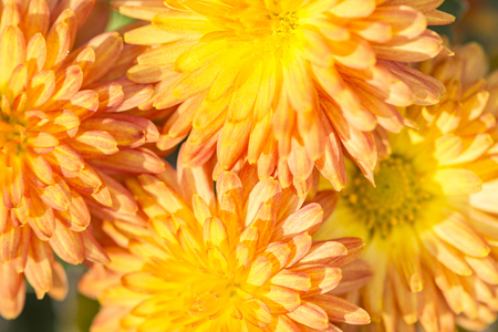 yellow and orange petals of autumn colors macro Banco de Imagens