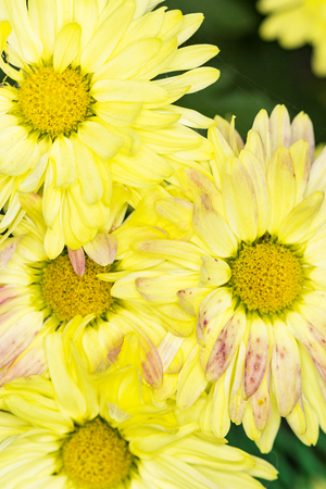 yellow and pink petals and yellow centers of chrysanthemums