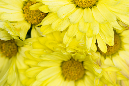 yellow petals and yellow centers of chrysanthemums Banco de Imagens