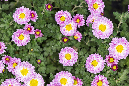 A bush of pink and purple chrysanthemums in the autumn garden