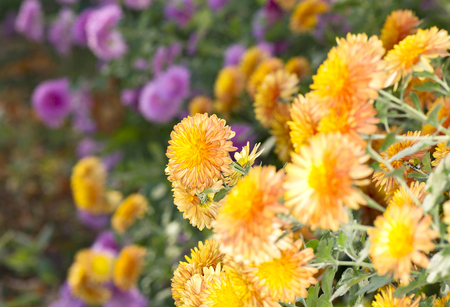 A bush of small purple and orange chrysanthemums in the autumn garden Banco de Imagens