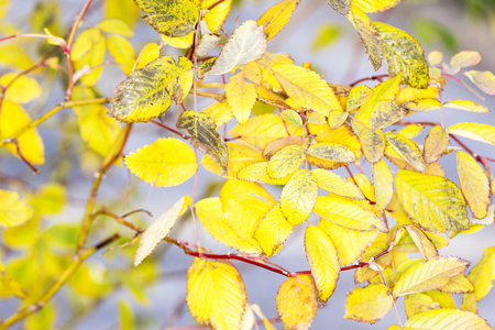 branch with small yellow autumn leaves Banco de Imagens
