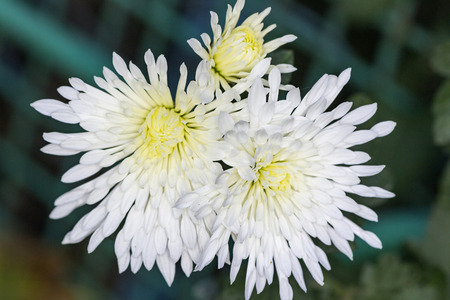 bright white chrysanthemum in the autumn garden Banco de Imagens