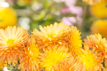 bush of orange chrysanthemums under the sun in the autumn garden close-up Banco de Imagens