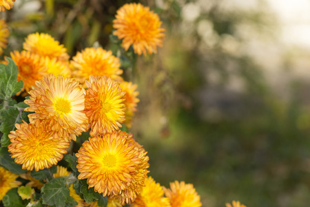 bush of small orange chrysanthemums in the autumn garden Banco de Imagens