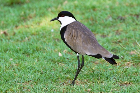 lapwing standing on green grass Stock Photo