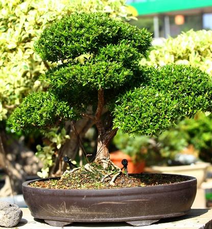 A small bonsai tree in a ceramic plate Stock Photo