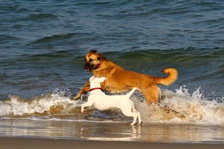 perros jugando: Dos perros jugando y chapoteando en el agua en la playa