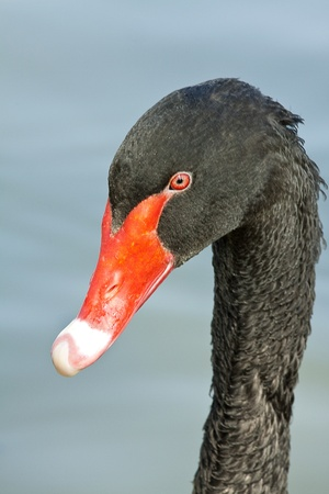portret of black swan (Cygnus atratus) Stock Photo - 10779246