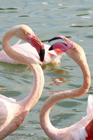 two of beautiful Pink Flamingos in the water photo