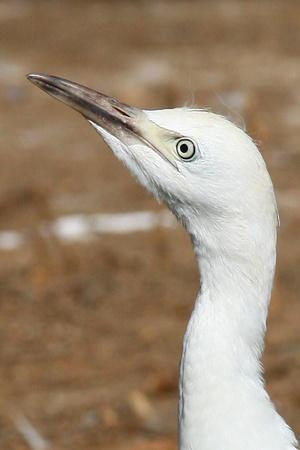 portret of beautiful White Egret  Stock Photo