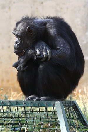 Chimpanzee sitting on the box photo